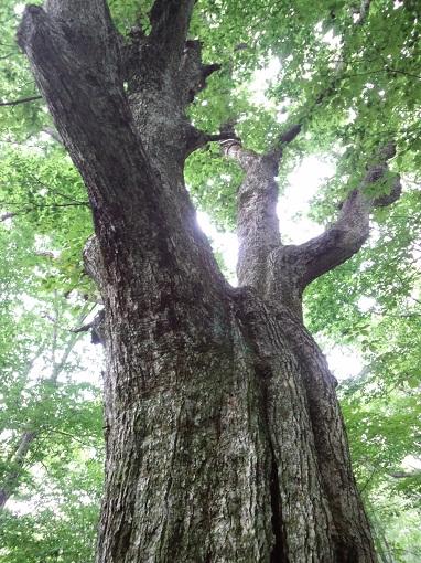 ミズナラの大木