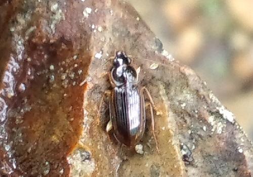 モリヒラタゴミムシ属 Colpodes sp..JPG