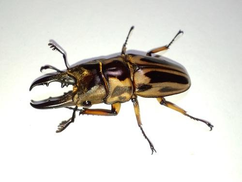 ゼブラノコギリ原名亜種.JPG